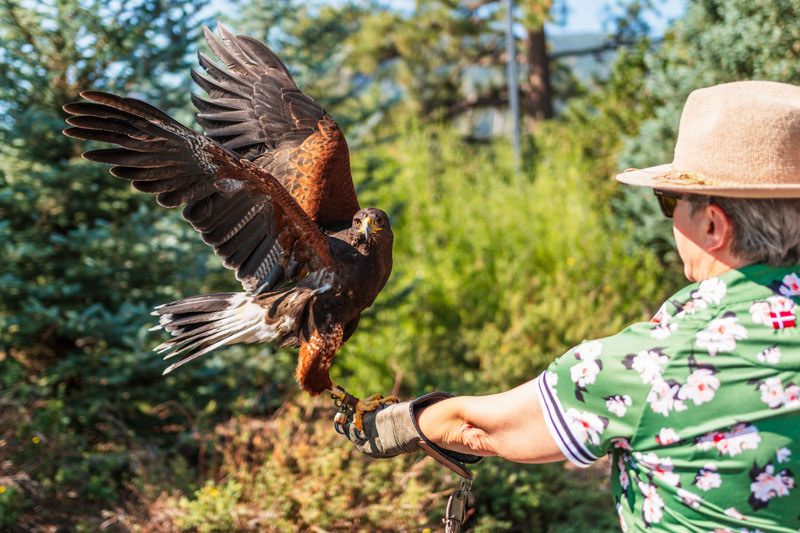 broadmoor outfitters falconry close up
