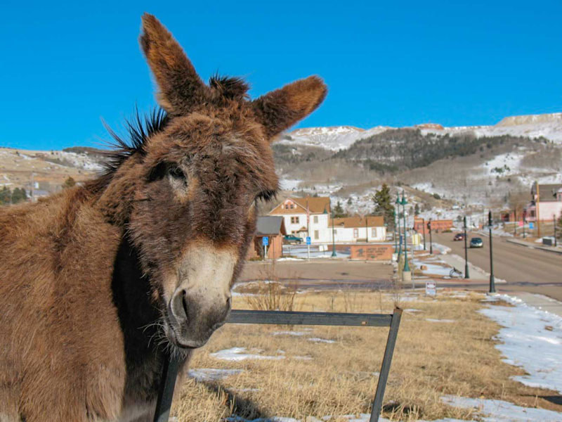cripple creek donkey