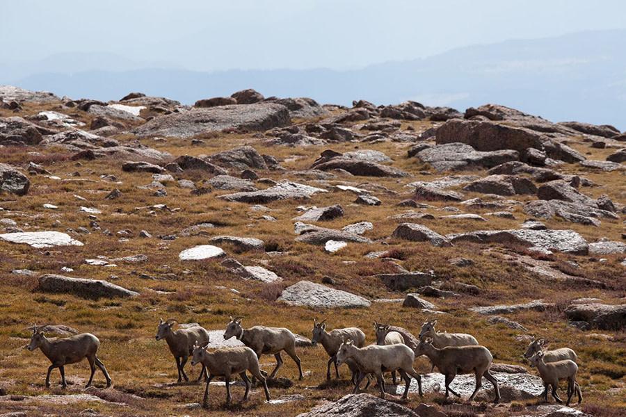 Big Horn Sheep on Pikes Peak