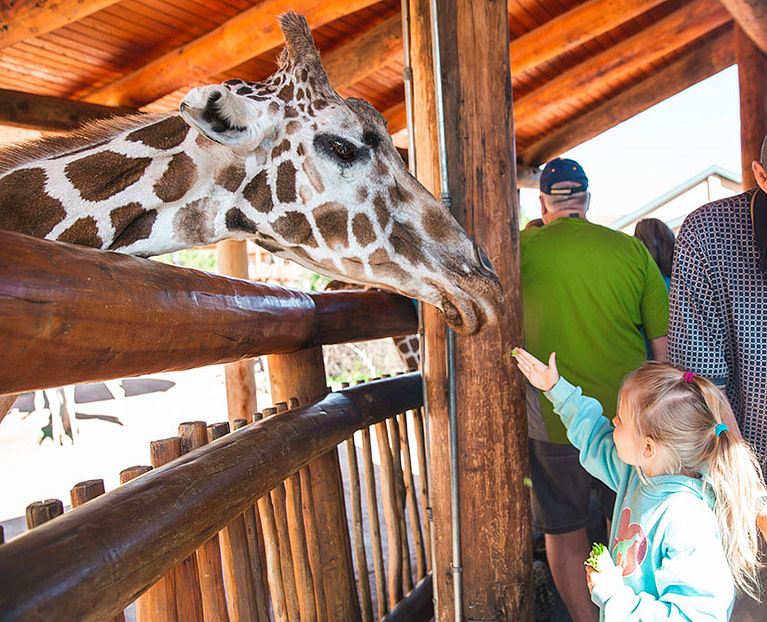 Cheyenne Mountain Zoo little girl feeding giraffe.